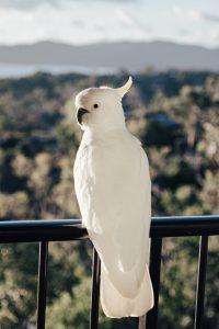 Papoušek kakadu